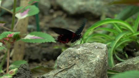 moth : Red black butterfly flapping wings, beautiful exotic insects as pets entomology