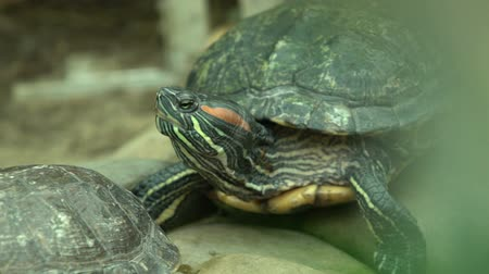 obojživelník : Pond slider turtle from south United States and northern Mexico, exotic pets