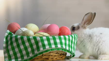 cheirando : Cute fluffy bunny sniffing colorful eggs in basket, Easter symbol, holiday eve Stock Footage
