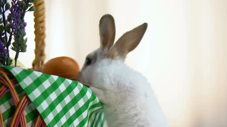 cheirando : Curious bunny looking into holy Easter basket, sniffing colored eggs, traditions