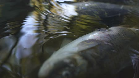 caused : Dead fish in river water pollution, industrial waste causes environmental damage Stock Footage