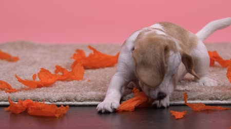 teasing : Beagle puppy playing with paper isolated on pink background, lovely family pet Stock Footage