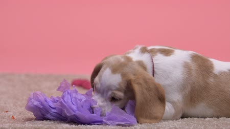 welpe : Lonely cute puppy playing with paper flower, dog waiting for owner, pet hotel