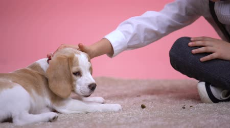 társ : Little boy stroking head of cute beagle puppy on pink background, pet adoption