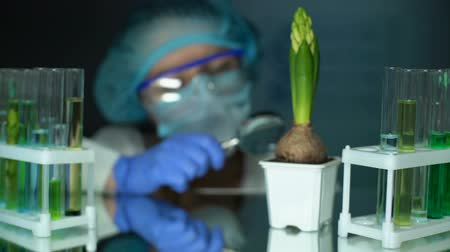 jacinto : Biologist examining hyacinth with magnifying glass, botany analysis, breeding Vídeos