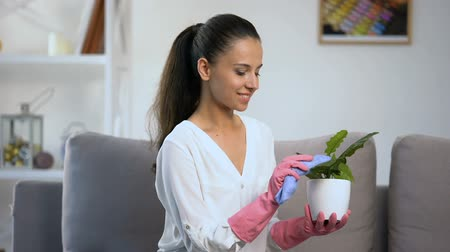 sprzątanie : Careful housewife in gloves wiping dust from flowerpot leaves, cozy home