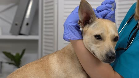 ear infection : Female doctor dripping medication dog ears, infection treatment, clinic service Stock Footage