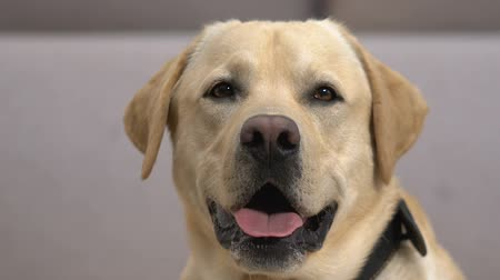 companheiro : Cute retriever closeup, devoted dog looking camera, friendly companion, pet Vídeos