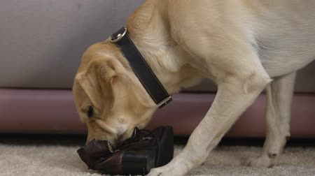 disobedient : Retriever chewing up boot at home damaging shoes, active disobedient pet