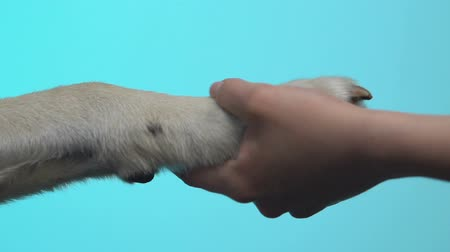 companheiro : Female hand holding dog paw on blue background closeup, pet love, connection