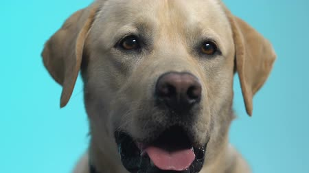 yaratık : Friendly labrador looking at camera on blue background, pet care retriever breed