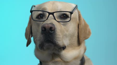 bontkraag : Curious retriever dog in eyeglasses closeup, business solution, scientific facts