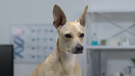 companheiro : Curious dog with big ears looking around, pet health care, adorable companion