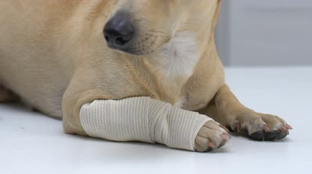 tlapky : Dog paw wrapped in elastic bandage, pet injury, muscle strain, first aid service