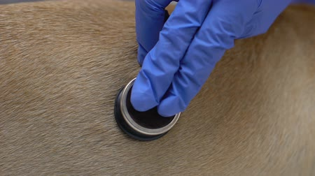 veterinario : Vet examining dog health listening by stethoscope closeup, veterinary medicine Archivo de Video