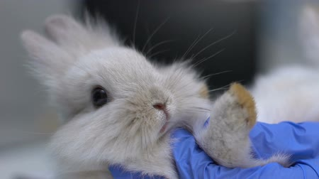 tlapky : Vet hand examining rabbit foot for sprains, risk of arthritis, emergency closeup
