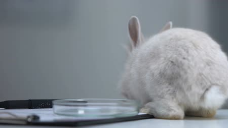 farmacologia : Rabbit walking on table with petri dish and documents, animal testing concept Stock Footage