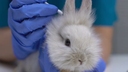 ear infection : Vet cleaning rabbit ear with cotton swab, hygienic procedure, disease prevention Stock Footage