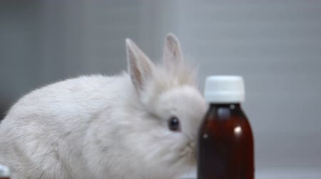 coelho : Cute rabbit sniffing bottles of medicaments, pet treatment, disease prevention Stock Footage
