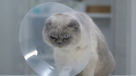 castração : Angry cat getting used to large collar, rehabilitation after surgery, vet clinic Stock Footage