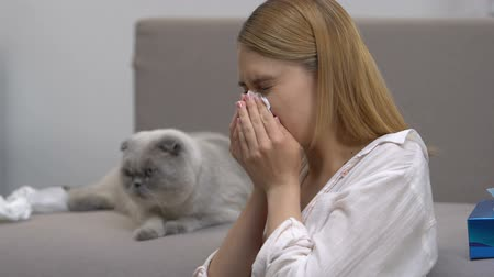 zsebkendő : Girl sneezing, suffering allergy to cat, hypoallergenic scottish fold breed