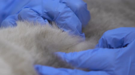 garrapatas : Gloved hands checking thick animal fur for mites flea, hypoallergenic pet breed