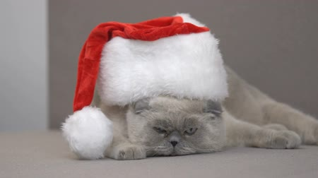 descontente : Disgruntled cat in Santa hat trying to escape on couch, Christmas discounts