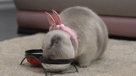 tlapky : Adorable cat eating from bowls, wearing funny pink ears, pet as birthday present