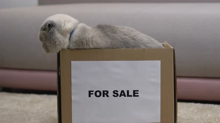 animal adoption : Adult scottish fold cat for sale jumping out of box, adoption of purebred pets Stock Footage