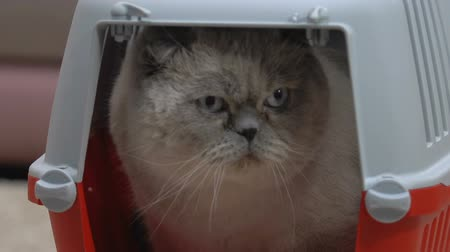 gaiola : Scottish fold cat sitting in small carrier, uncomfortable narrow space, closeup