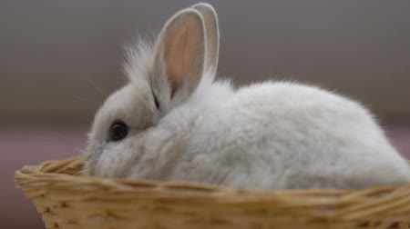 tlapky : Adorable fluffy bunny eating in basket, pet as present for birthday, adoption Dostupné videozáznamy