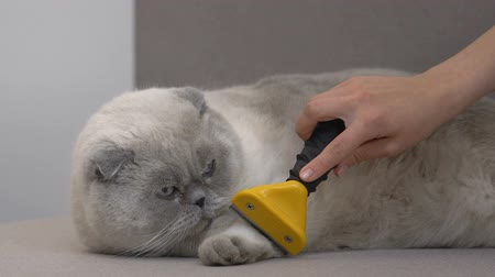 tlapky : Female hand combing scottish fold cat with hair deshedding tool, moulting