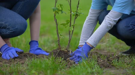 restaurar : Two volunteers planting tree together, environmental project participation