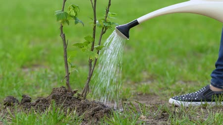 kutuları : Eco activist watering tree sapling in park social reforestation project, ecology