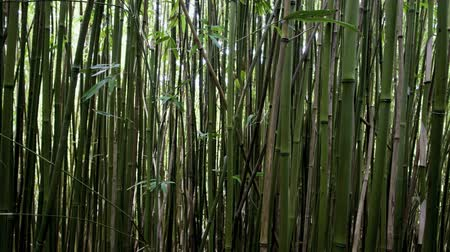 bamboo forest : Pan of Bamboo Forest