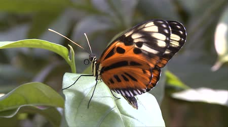 batı : Butterfly in Nature Conservatory Stok Video