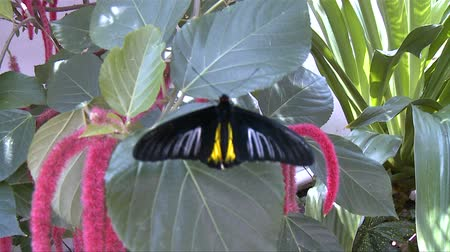 owady : Butterfly in Nature Conservatory Wideo