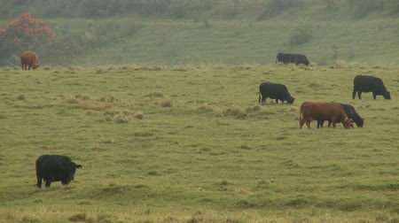 trawa : Time Lapse Cows in Hana Hawaii Wideo