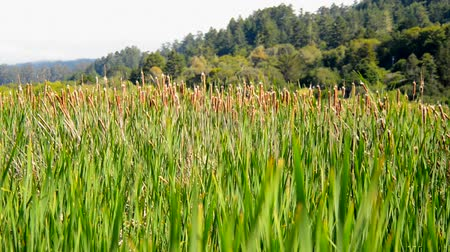 pantanal : Reeds growing in a marsh Point Reyes California Stock Footage