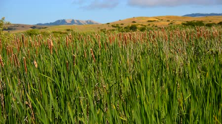 kamış : Reeds growing in a marsh Point Reyes California Stok Video