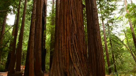 mohás : Giant Trees in California