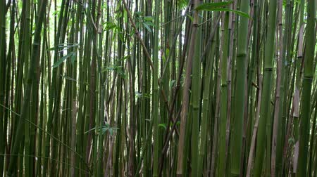 bamboo forest : Dolly of Hawaiian Bamboo Forest  - 4K -  4096x2304