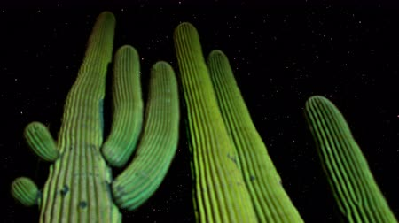 kaktusz : Time Lapse of Desert Cactus at Night  4K - 4096x2304 Stock mozgókép