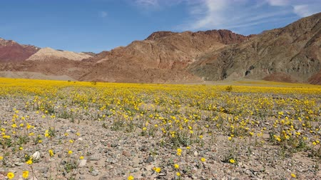 margarida : Pan - Death Valley Desert Flower Super Bloom - Spring Vídeos