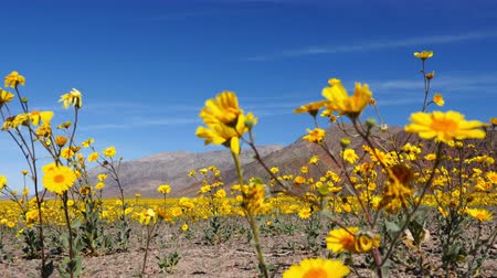 margarida : Dolly - Death Valley Desert Flower Super Bloom - Spring