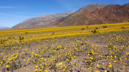 owady : Dolly - Death Valley Desert Flower Super Bloom - Spring