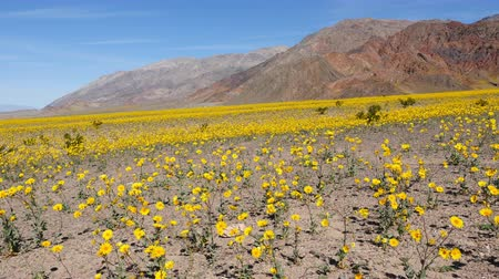 margarida : Time Lapse Dolly - Death Valley Desert Flower Super Bloom - Spring