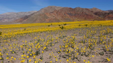 margarida : Time Lapse Death Valley Desert Flower Super Bloom - Spring