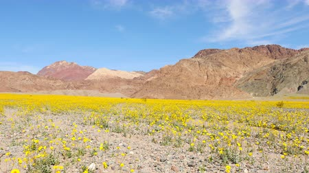 margarida : Pan Up to Sky  - Death Valley Desert Flower Super Bloom - Spring