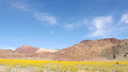 owady : Pan Down  - Death Valley Desert Flower Super Bloom - Spring